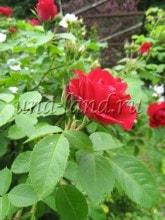 цветочное оформление, уход за розами