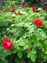 Цветы кустарники декоративные, уход за розами